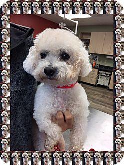 Bichon Frise Dog for adoption in Tulsa, Oklahoma - Adopted!!Pumpkin - TX