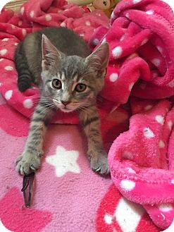 Domestic Shorthair Kitten for adoption in Clarkson, Kentucky - Precious