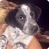 Border Collie/Cattle Dog Mix Dog for adoption in Royal Palm Beach, Florida - Bo