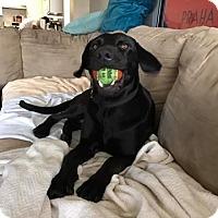 Labrador Retriever Mix Dog for adoption in Austin, Texas - Midnight
