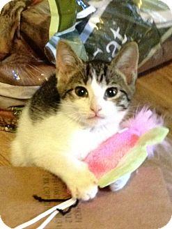 Manx Cat for adoption in Monroe, Georgia - Lena