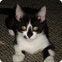 Adopt A Pet :: Gizmo - Chandler, AZ