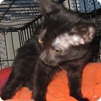 Adopt A Pet :: Raven - Dallas, TX