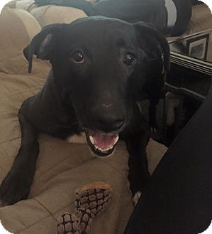 Labrador Retriever Mix Dog for adoption in Birmingham, Michigan - MADDIE