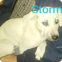 Adopt A Pet :: Stormie - Albany, NY