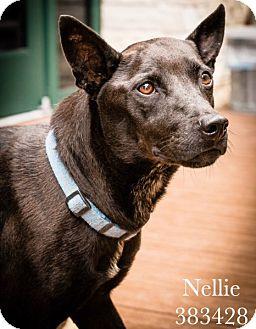 Cattle Dog/Australian Kelpie Mix Dog for adoption in San Antonio, Texas - 383428 Nellie