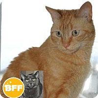 Domestic Shorthair Cat for adoption in Edmonton, Alberta - George Weasley