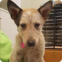 Adopt A Pet :: Delila - Neosho, MO
