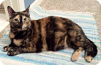 Domestic Shorthair Cat for adoption in Overland Park, Kansas - Paisley