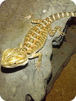 Lizard for adoption in Hampton, Georgia - Bear