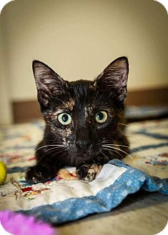 Domestic Shorthair Kitten for adoption in Trevose, Pennsylvania - Fox