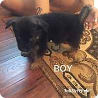 German Shepherd Dog/Rottweiler Mix Puppy for adoption in Victorville, California - Darcy Pup