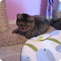 Domestic Shorthair Cat for adoption in Coos Bay, Oregon - Tessa