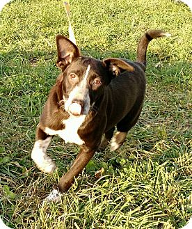 Blue Heeler/Labrador Retriever Mix Puppy for adoption in Macomb, Illinois - Abby