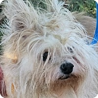 Maltese Mix Dog for adoption in Germantown, Maryland - Baylee