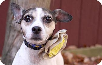 Jack Russell Terrier Mix Dog for adoption in Voorhees, New Jersey - Tinkerbell