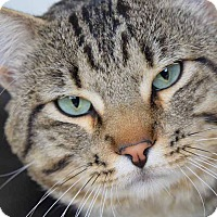 Domestic Shorthair Cat for adoption in Sierra Vista, Arizona - Binkey