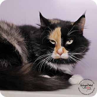 Domestic Shorthair Cat for adoption in Lyons, New York - Josephine