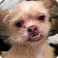 Adopt A Pet :: Chata - Encino, CA