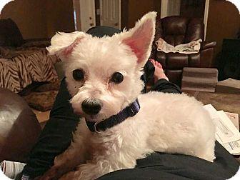 Maltese Dog for adoption in E. Greenwhich, Rhode Island - Sam