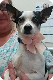 Rat Terrier/Chihuahua Mix Dog for adoption in Encinitas, California - Mookie