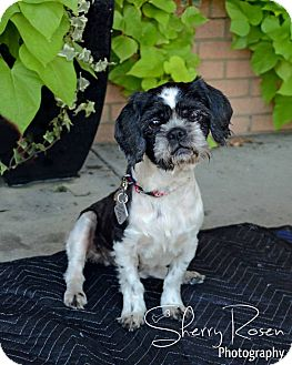 Shih Tzu Dog for adoption in Atlanta, Georgia - Flossie Mae