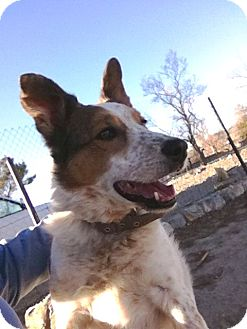 Border Collie Dog for adoption in Monrovia, California - Bella