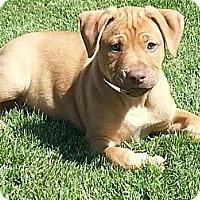 Adopt A Pet :: Braxtyn - Scottsdale, AZ
