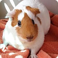 Adopt A Pet :: Amelia - Santa Barbara, CA