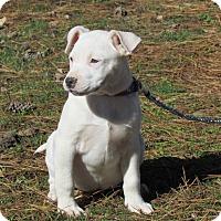 Adopt A Pet :: PINKY - Hartford, CT
