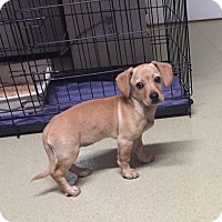 Adopt A Pet :: Whitley - North Hollywood, CA