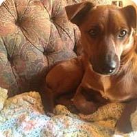 Adopt A Pet :: Lulu - North Richland Hills, TX