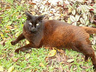 Domestic Shorthair Cat for adoption in Naples, Florida - Gaia