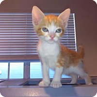 Adopt A Pet :: Creamsicle (new) DH - Tampa, FL