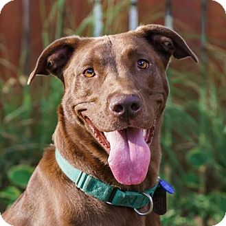 Labrador Retriever/Vizsla Mix Dog for adoption in Columbia, Illinois - Hannah