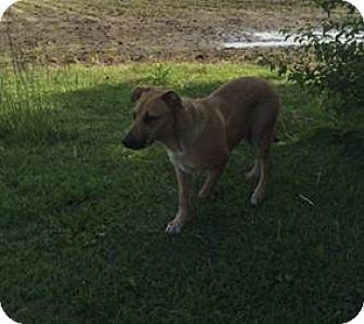 German Shepherd Dog Mix Dog for adoption in Parkton, North Carolina - Simba