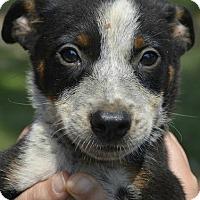 Adopt A Pet :: Francis - Trenton, NJ