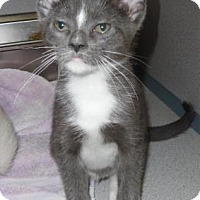 Domestic Shorthair Kitten for adoption in Waupaca, Wisconsin - Bug