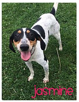 Bluetick Coonhound Dog for adoption in Wilmington, Delaware - Jasmine