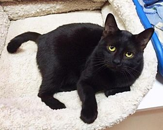 Domestic Shorthair Cat for adoption in Chino Hills, California - Jesse
