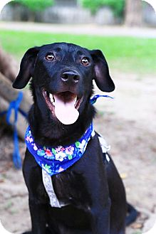 Labrador Retriever Mix Puppy for adoption in Castro Valley, California - Matta
