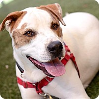 Staffordshire Bull Terrier/Hound (Unknown Type) Mix Dog for adoption in Sedona, Arizona - Petey