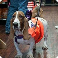 Adopt A Pet :: Cheri - Grapevine, TX