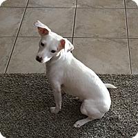 Whippet/Italian Greyhound Mix Dog for adoption in Tracy, California - Selene (aka Sugar)