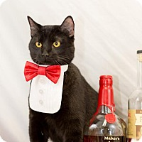 Domestic Shorthair Cat for adoption in Glastonbury, Connecticut - Bustopher Jones