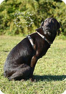 Labrador Retriever/Border Collie Mix Dog for adoption in Fort Valley, Georgia - Thelma
