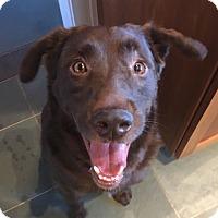 Adopt A Pet :: Buddy - Bedford Hills, NY