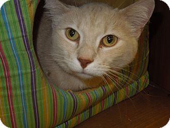 Domestic Shorthair Cat for adoption in Medina, Ohio - Jake