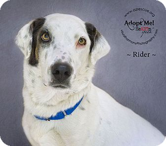 Basset Hound/Dalmatian Mix Dog for adoption in Phoenix, Arizona - Rider