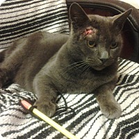 Adopt A Pet :: Russian Blue - Chesterfield, VA